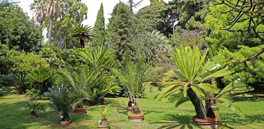 Palme nell'Orto Botanico di Napoli