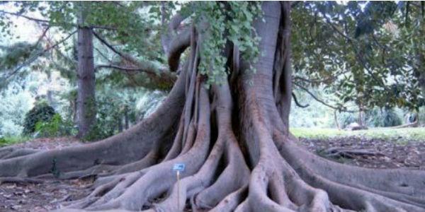 Foto di un albero dell'Orto Botanico di Napoli