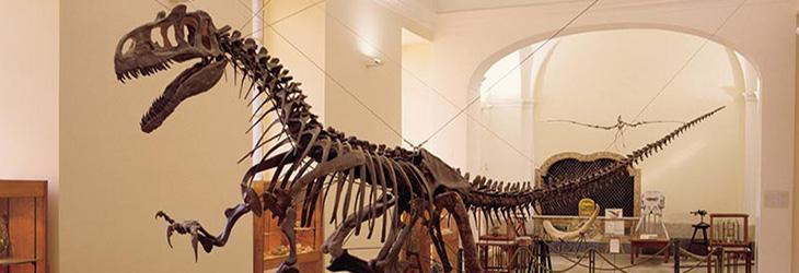 Dinosauro al museo di paleontologia di Napoli