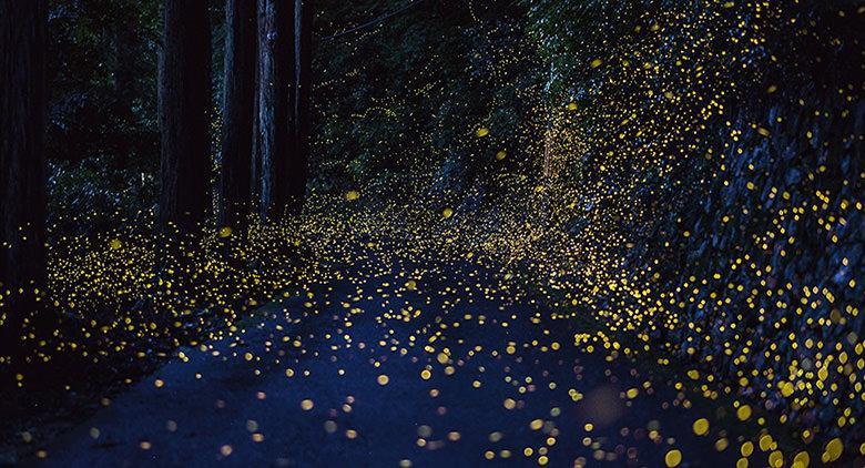 Lucciole in un bosco, a Bacoli l'evento Aspettando le lucciole