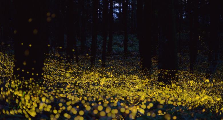 La magia delle lucciole in un vitigno di bacoli