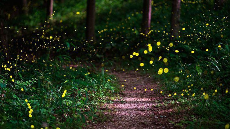 Lucciole nel bosco, a Bacoli tornano le suggestive passeggiate