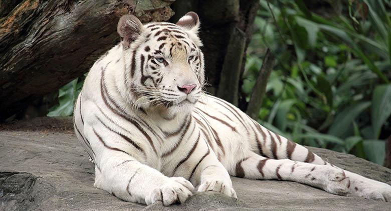 Allo Zoo di Napoli arriva una tigre bianca
