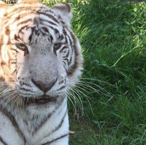 Arcana, tigre bianca dello Zoo di Napoli