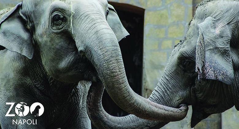 Allo Zoo di Napoli si festeggia il compleanno dell'elefantessa Wini