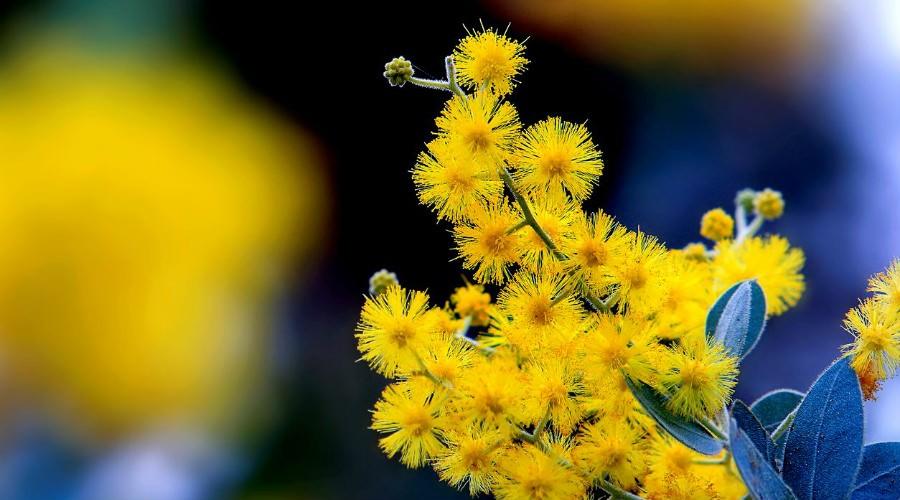 Mimose, Festa della Donna