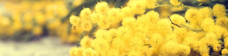Mimose Women's Day