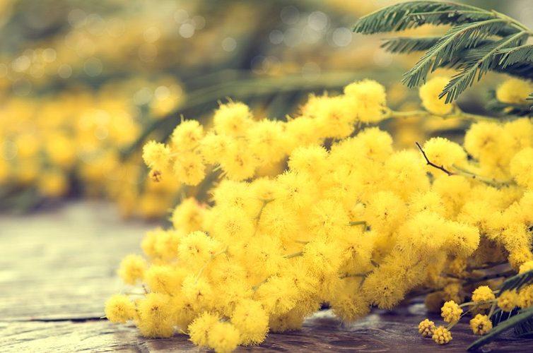 Mimose Festa della donna