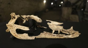 Crocodile remains found in the Galleria Borbonica
