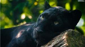 La panther poster at the Naples zoo: the charming feline named Moro arrives