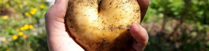 Kartoffelkönigin