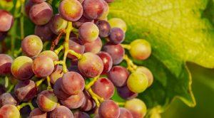 sagra dell'uva